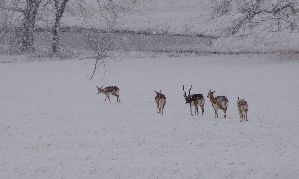 black-bucks-snow